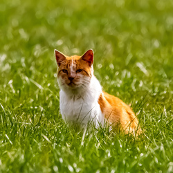 oude kat in weiland