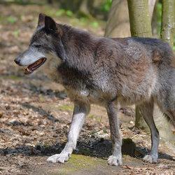Hij is terug....de Wolf!