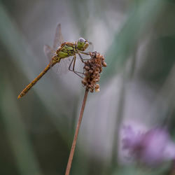 dreaming dragonfly