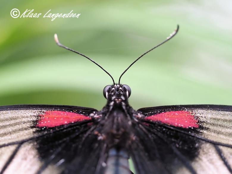 Papilio lowii detial - Genomen tijdens het praktijk gedeelte van een macro workshop door Olympus visionair Arend Spaans (https://arendspaans.nl/) in d