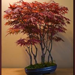 Bonsai 7 nu met blad