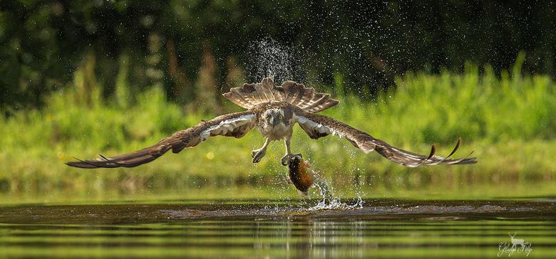 Recht in de lens! - Deze visarend vloog recht op mij af nadat hij een vis uit de vijver had gevist. <br /> <br /> 300mm, 1/2000, f/4.5, iso 400