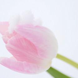 Tulpen in de sneeuw I