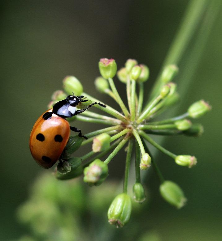 Ladybug - Het lieveheersbeestje kent 4 stadia in zijn leven: ei, larve, pop en adult (volwassen lieveheersbeestje). Ei. Eieren worden meestal in groep