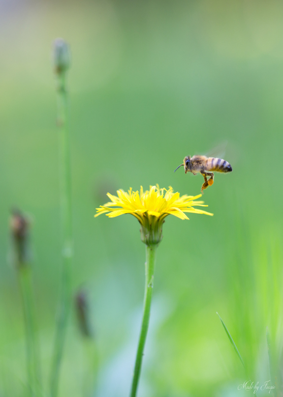 Looks like Mary Poppins... - De hele Zomer nauwelijks Honingbijtjes gezien, en dan opeens eind September, zag ik verschillende Honingbijtjes nog Snoep
