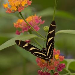 DL1_8796 vlinder