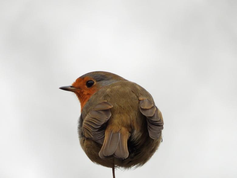 crvendac - Deze vogeltje heeft 1 potje die heeft niet koud maar een potje