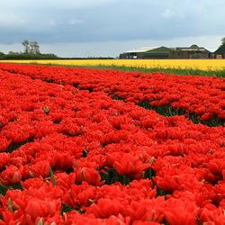 allemaal tulpen