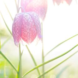 Kievietsbloem in de opkomende zon