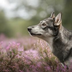 Wolfhond op de heide