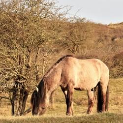 konik - paard 3