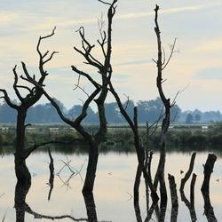 Dode bomen in het water
