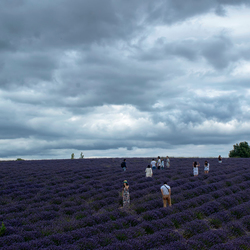 Tourists in a Lavenderfield.
