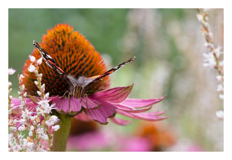 Feestje met vlinders 2 - Nog een keer de Atalanta op de Zonnehoed. De kleurencombinaties spreken mij erg aan.
