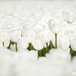 De witte tulp