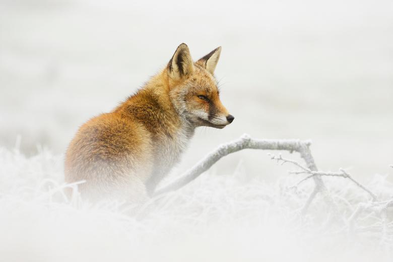 Vos in een winters landschap