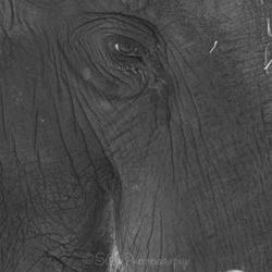 Oog van de olifant