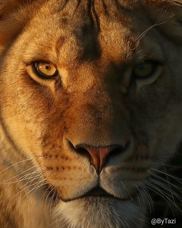 Golden hour lioness - Leeuwin in het avondzonnetje. Ze kunnen zo intens kijken met die mooie ogen! De harde schaduw maakt het beeld mysterieus.