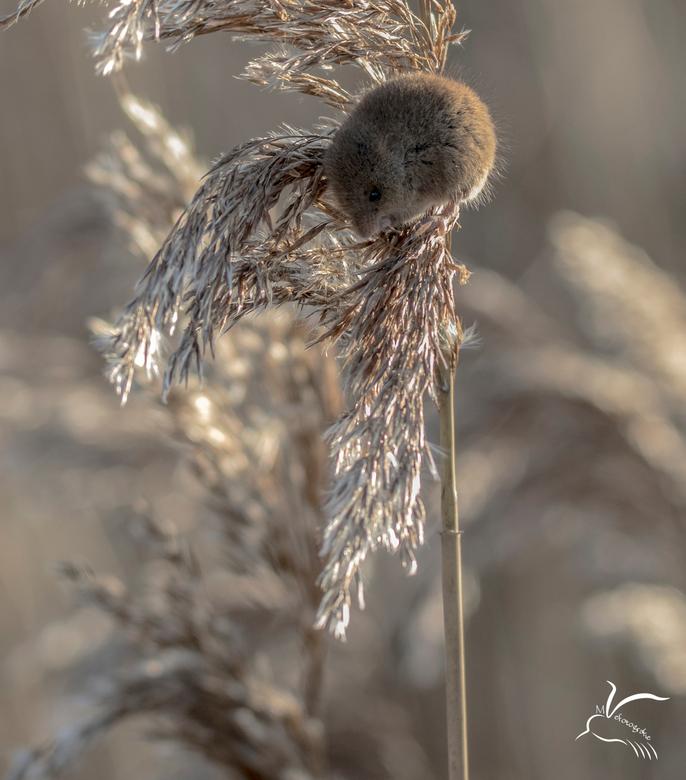 Muisje op rietpluim - Dit Dwergmuisje zag ik op een rietpluim was daar de wind wel lastig om op de foto te zetten