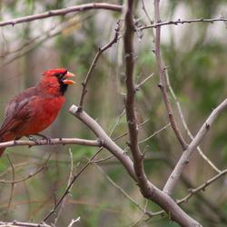 Burgers Desert - Rode Kardinaalvogel