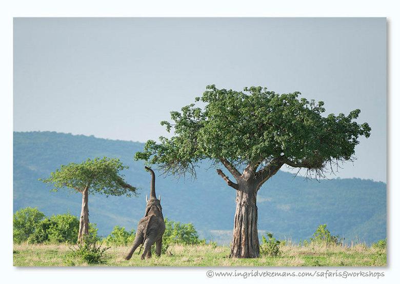 Elegance - Olifant lust wel wat lekkers uit de baobab…