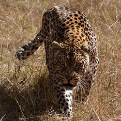 Jachtluipaard, Moholoholo