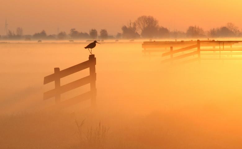Grutto - een grutto op een hek op een mistige ochtend in de polder