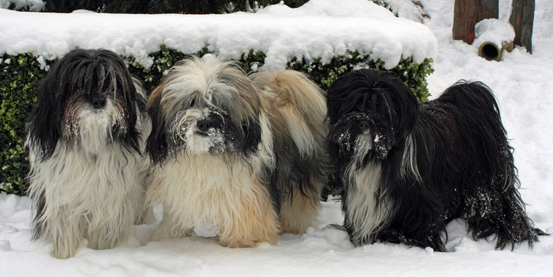 Sneeuwhondjes  - Ik vind het allemaal niet zo fijn die sneeuw ,maar onze drie tibetaantjes vinden het des te leuker .<br /> Iedereen een fijn en gelu