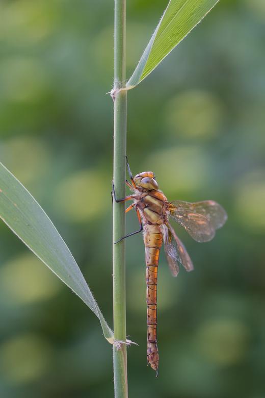 It wasn't me - Deze vroege glazenmaker zag ik bij mijn tuin aan het einde van de dag het riet invliegen en bleef daar maar zitten. Zonder er aandacht