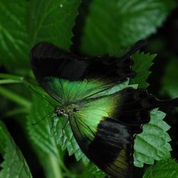 Groen vlinder op groen blad