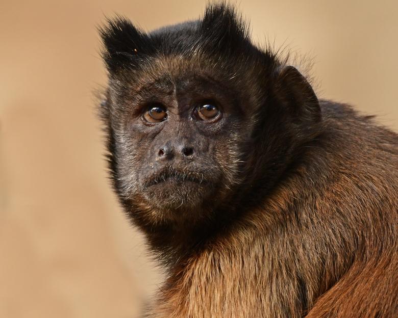 seksuele dimorfie #14 - De seksuele dimorfie bij kapucijnapen is veel subtieler. De mannen zijn doorgaans wat groter. En de hoektanden van de mannen z