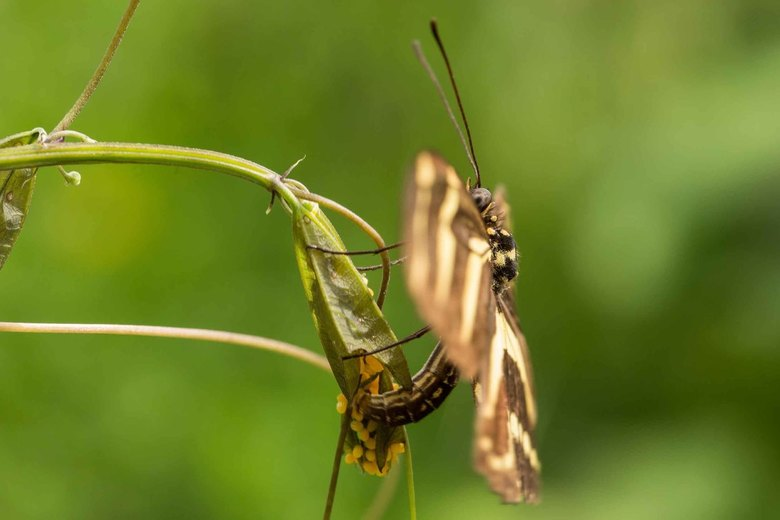 Papilio memnon legt eitjes -