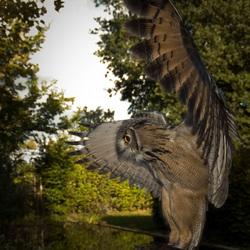 aanvliegende uil