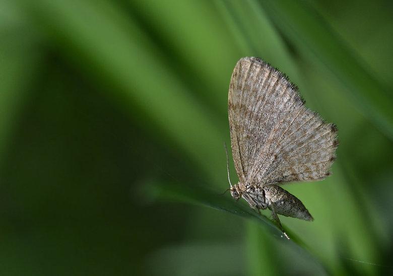 Apocheima Pilosaria (Perentak) -