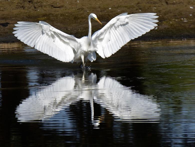 Zilverreiger in actie - Zilverreiger vist vaak met alerte vleugelbewegingen om vis te verschalken. Ook strak stilstaand of sluipend door laag water.