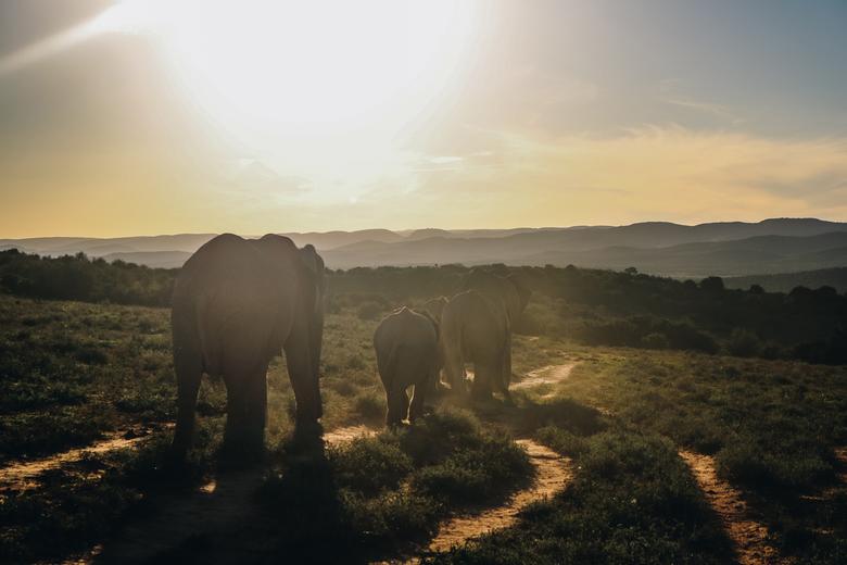 Addo Elephant National Park - Olifanten bij mooie zonsondergang in het prachtige Zuid-Afrika