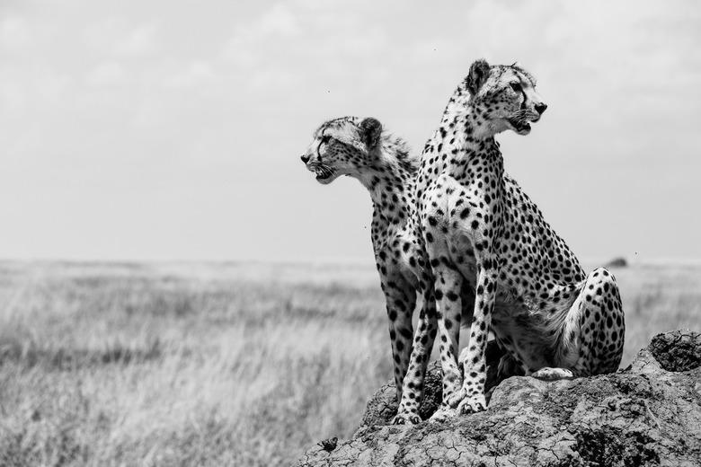 Op jacht - Tijdens onze safari door Tanzania stuiten we op deze moeder en dochter cheeta. Ze hebben een groep jonge antilopen gespot en besluiten deze