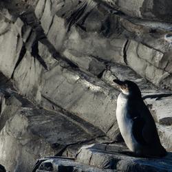 Pinguïn all alone