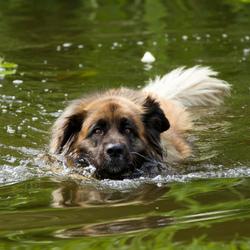 Leonberger te water