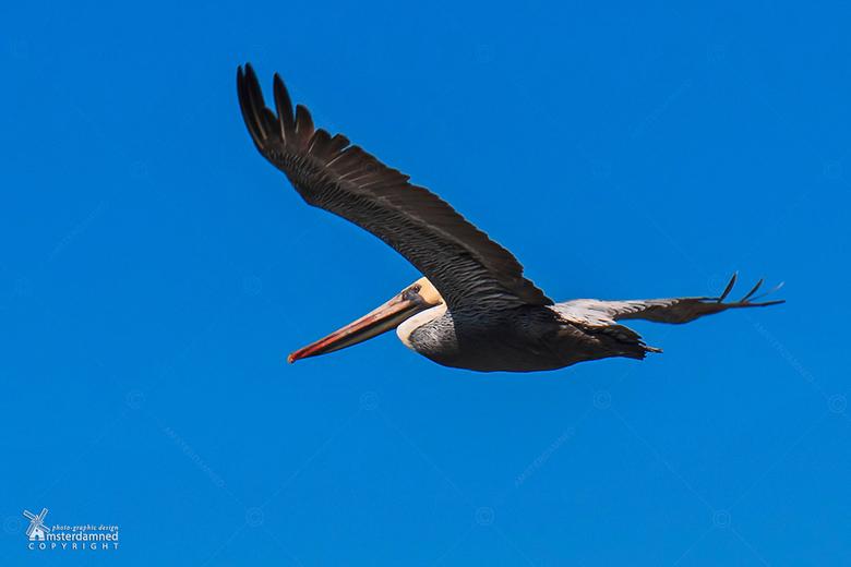 San Francisco  - Een van de talloze pelikanen die langs de kust van het amerikaanse San Francisco vliegt.