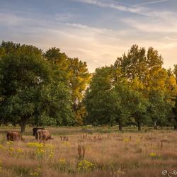 Hooglanders in de Schinveldsebossen