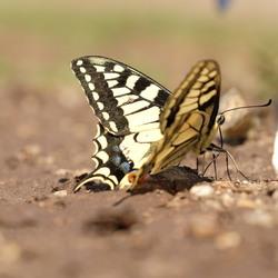 Koningepage vlinder