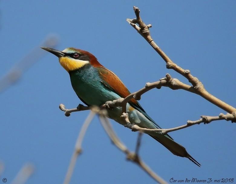 De Bijeneter is een Prachtige Vogel !!! - Deze vogel met ze mooie kleuren de  Bijeneter  heb gefotografeerd op het eiland Lesbos bij de zoutpannen<br