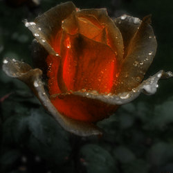 Het gloeiende rozenhart