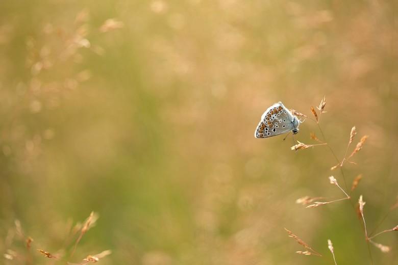 geen pokemon - geen pokemon al is de zoektocht naar deze vlindertjes is van gelijke strekking..je zoekt tot scheelkijken toe..want ze zijn er (tenmins