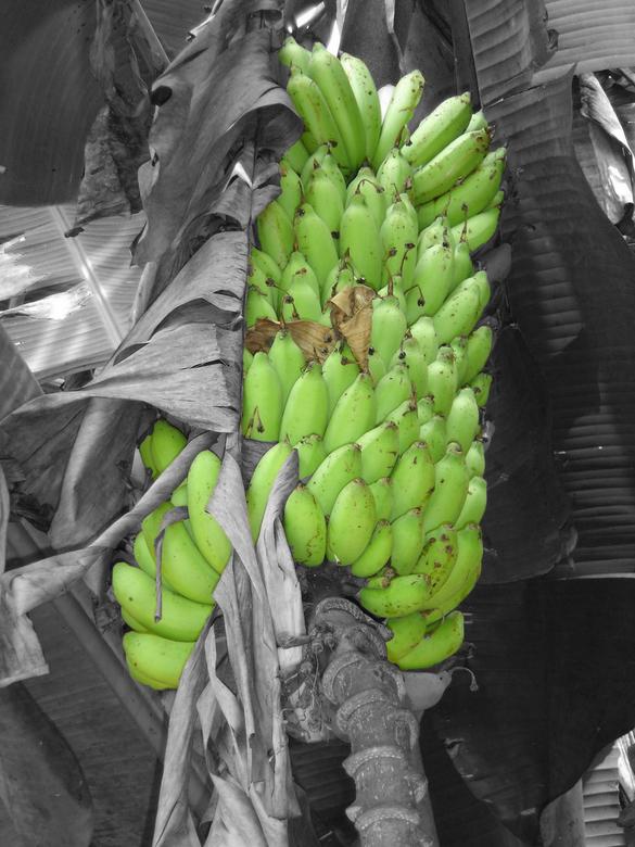 Groene Bananen - Een foto uit azie van een bananen boom met groene bananen