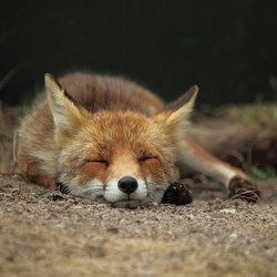 slaperige vos