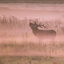 Rutting Red Deer (Burlend Hert)
