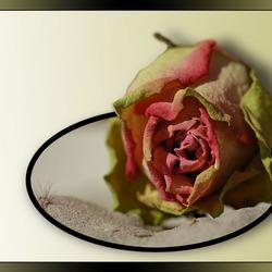 roos in het zand...............