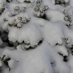 Sneeuw en bijna bloeiende klimop